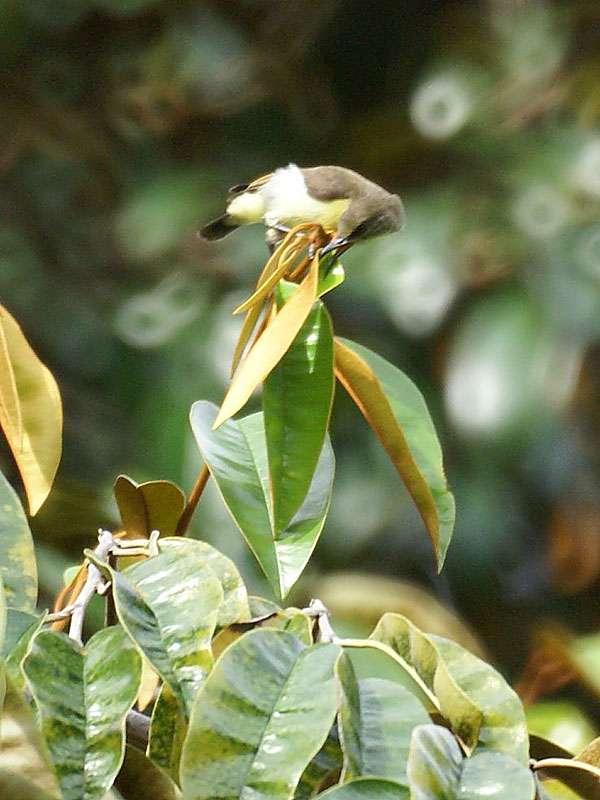 Weiblicher Ceylon-Nektarvogel (Leptocoma zeylonica zeylonica) im Brief Garden; Foto: November 2006, Kalawila