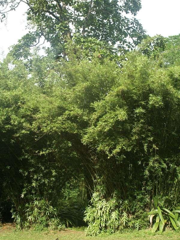 Bambus im Brief Garden; Foto: November 2006, Kalawila