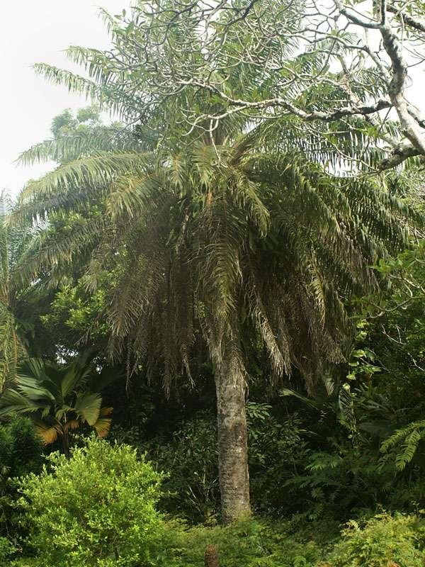 Palme im Brief Garden; Foto: November 2006; Kalawila