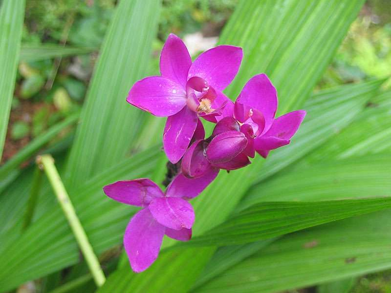 Orchidee im Brief Garden; Foto: November 2006, Kalawila
