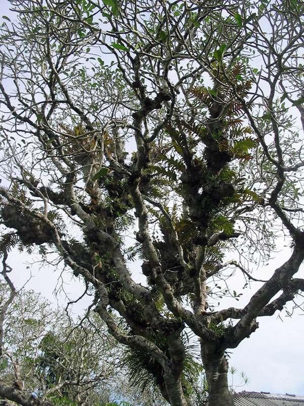 Baum mit Farnbewuchs im Brief Garden; Foto: November 2006, Kalawila