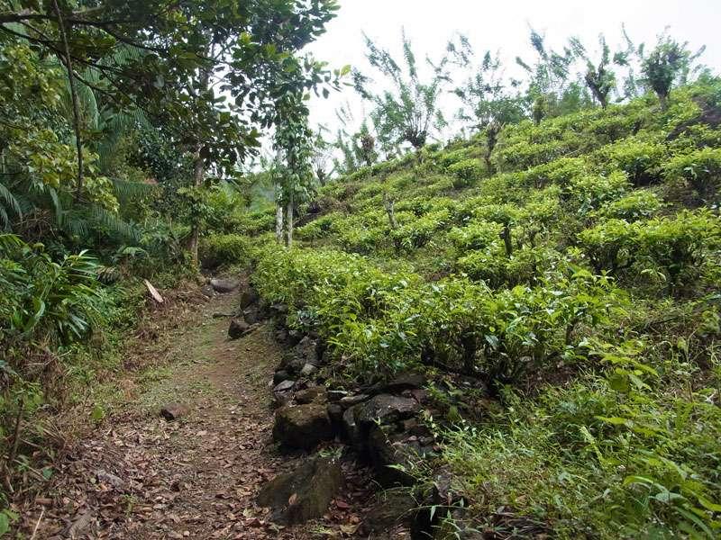 Weg an einer Teeplantage im Tiefland von Sri Lanka; Foto: 14.09.2015, Teeplantage am Sinharaja-Regenwald