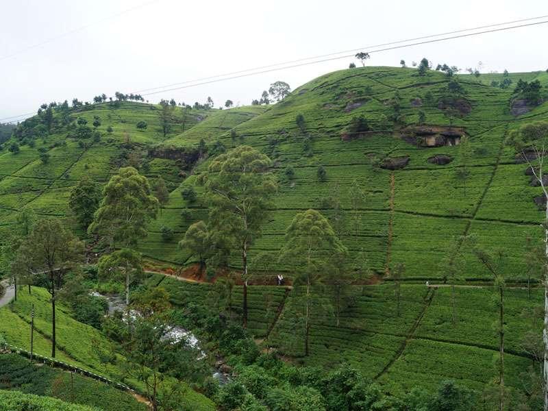 Die Teeplantagen im Hochland von Sri Lanka liegen teils in sehr hügeligen Gegenden; Foto: 18.09.2015, Nähe Nuwara Eliya