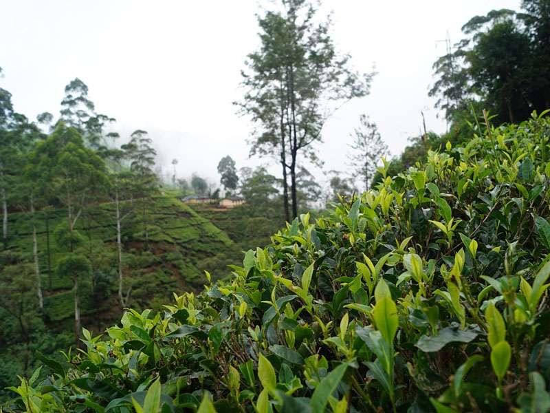 Auf den ersten Blick wirken Teeplantagen oft wie 'grüne Wüsten', doch in diesen Monokulturen leben trotzdem einige Tiere und andere Pflanzen; Foto: 18.09.2015, Nähe Nuwara Eliya