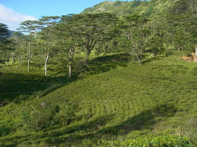 Als große Schattenspender dienen in vielen Teeplantagen mächtige Exemplare von Falcataria moluccana, in ihnen wohnen viele Vögel; Foto: 20.09.2015, Nähe Kandy