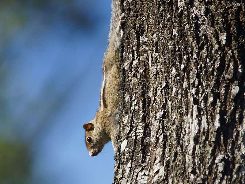 Das Indische Palmenhörnchen (Funambulus palmarum) bewohnt oft die Bäume auf den Teeplantagen; Foto: 20.09.2015, Nähe Kandy