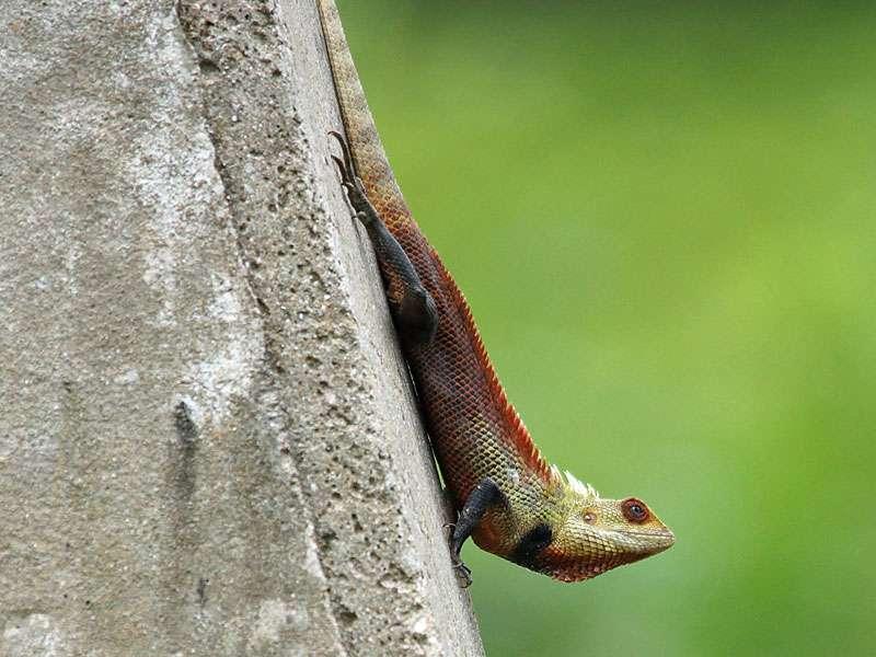 Die farbenprächtigen Blutsaugeragamen (Calotes versicolor) leben in Sri Lanka an vielen Stellen, darunter auch auf Teeplantagen; Foto: 20.09.2015, Nähe Kandy