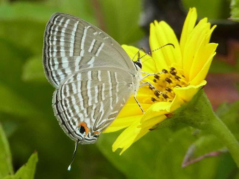 Zu den Schmetterlingen, die man auf Teeplantagen mit ein wenig Glück antreffen kann, gehört Jamides celeno; Foto: 20.09.2015, Nähe Kandy
