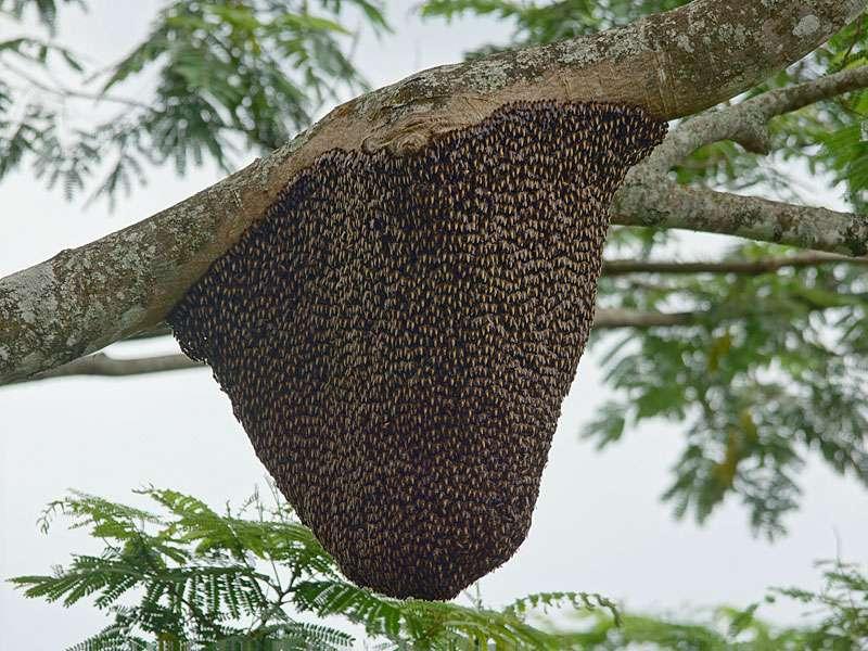 An hohen, schattenspendenden Bäumen auf Teeplantagen finden sich im Hochland Sri Lankas vielerorts Nester der Riesenhonigbienen (Apis dorsata); Foto: 20.09.2015, Nähe Kandy