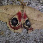 Pfauenspinner (Saturniids, Saturniidae)