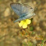 Bläulinge (Gossamer-wings, Lycaenidae)