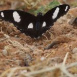 Edelfalter (Brush-footed Butterflies, Nymphalidae)