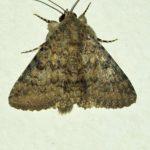 Eulenfalter (Owlet Moths, Noctuidae)