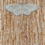 Spanner (Geometer Moths, Geometridae)