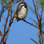 Afrikanische Bartvögel (African barbets, Lybiidae)