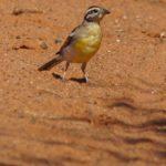 Ammern (Buntings, Emberizidae)