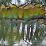 Bienenfresser (Bee-eaters, Meropidae)