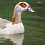 Entenvögel (Ducks, Geese and Swans, Anatidae)