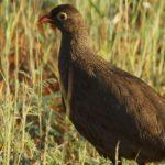 Fasanenartige (Pheasants, Phasianidae)