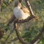 Fliegenschnäpper (Old World Flycatchers, Muscicapidae)