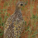 Flughühner (Sandgrouse, Pteroclididae)