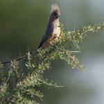 Mausvögel (Mousebirds, Coliidae)