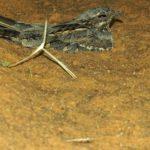 Nachtschwalben (Nightjars, Caprimulgidae)