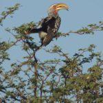 Nashornvögel (Hornbills, Bucerotidae)