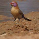 Prachtfinken (Weaver-finches, Estrildidae)