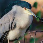 Reiher (Herons, Egrets and Bitterns, Ardeidae)