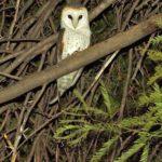 Schleiereulen (Barn Owls, Tytonidae)