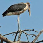 Störche (Storks, Ciconiidae)