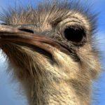 Strauße (Ostriches, Struthionidae)