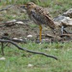 Triele (Stone-curlews, Burhinidae)