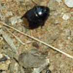 Erdwanzen (Cydnidae)