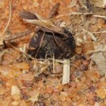 Krummfühlerwanzen (Broad-headed Bugs, Alydidae)