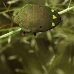 Schildwanzen (Metallic Shieldbugs, Scutelleridae)