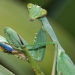 Fangschrecken (Mantises, Mantodea)