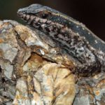 Reptilien (Reptiles, Reptilia)