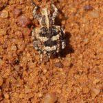 Unbestimmte Käfer 1