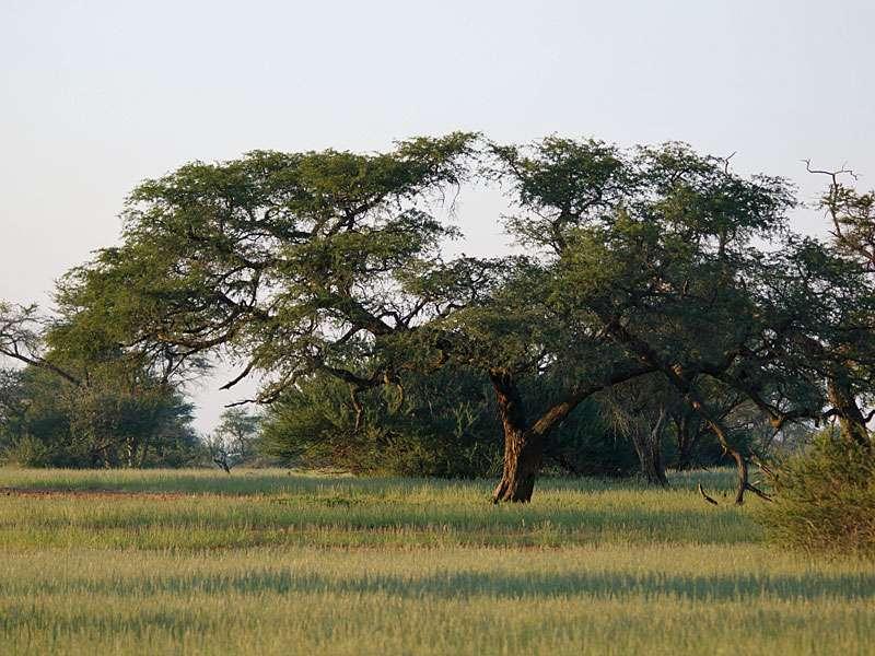 Die offene Landschaft ist mit einigen ausladenden Bäumen durchsetzt; Foto: 20.03.2017, Kuzikus Wildlife Reserve