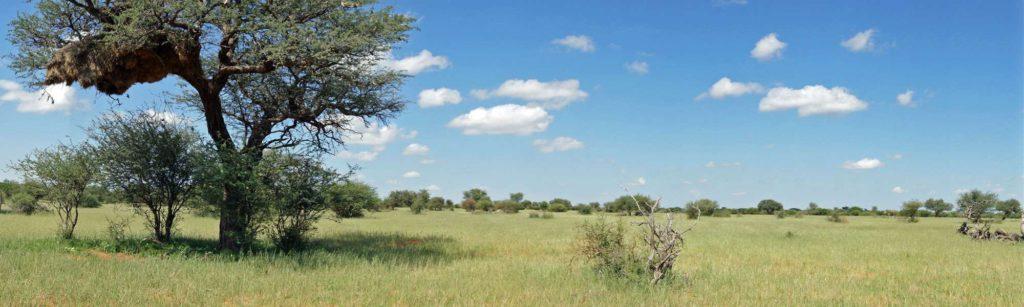 In einigen hohen Bäumen der Kalahari finden sich die Nester der Siedelweber; Foto: 20.03.2017, Kuzikus Wildlife Reserve