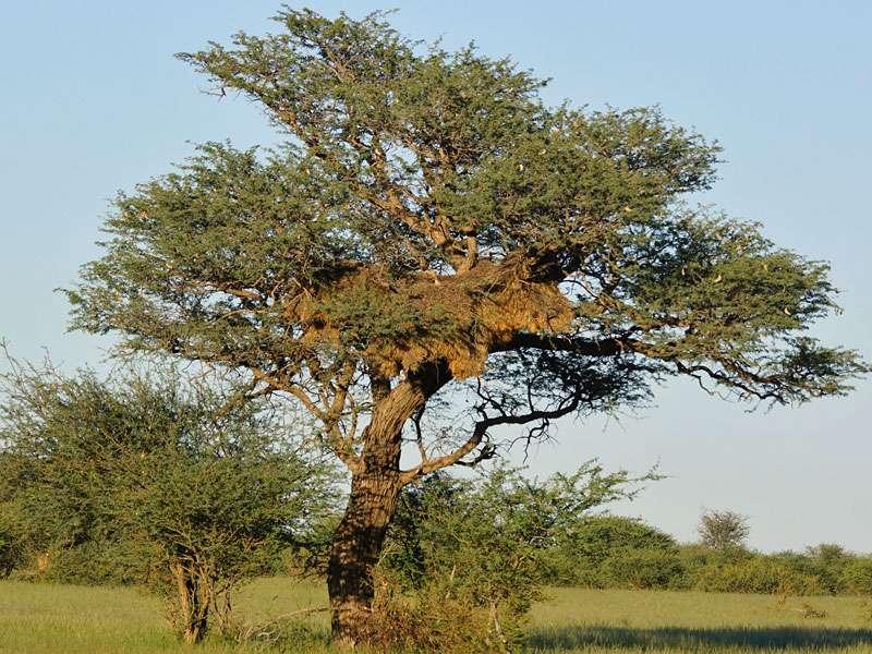 Siedelweber bauen große Gemeinschaftsnester in den Bäumen der Kalahari; Foto: 21.03.2017, Kuzikus Wildlife Reserve
