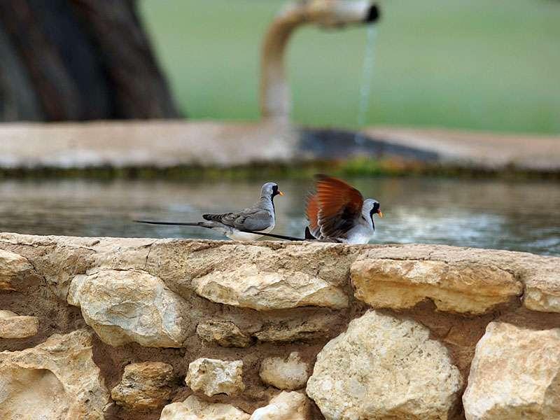 Die Wasserstellen ziehen allerlei Tiere wie diese Kaptäubchen an; Foto: 21.03.2017, Kuzikus Wildlife Reserve
