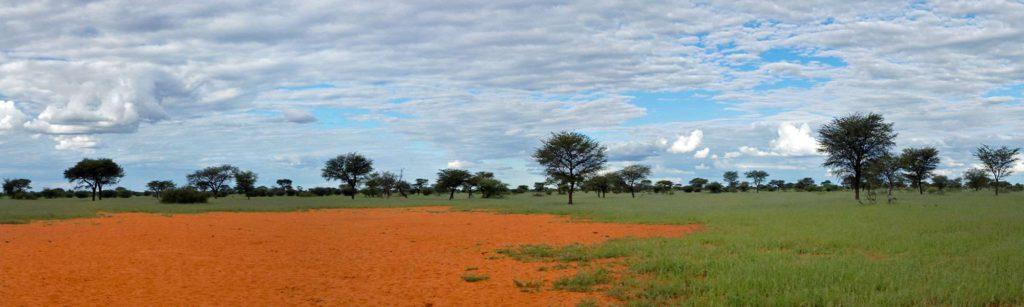 Der rote Sand der Kalahari wird nur selten von so viel Grün überwuchert; Foto: 21.03.2017, Kuzikus Wildlife Reserve