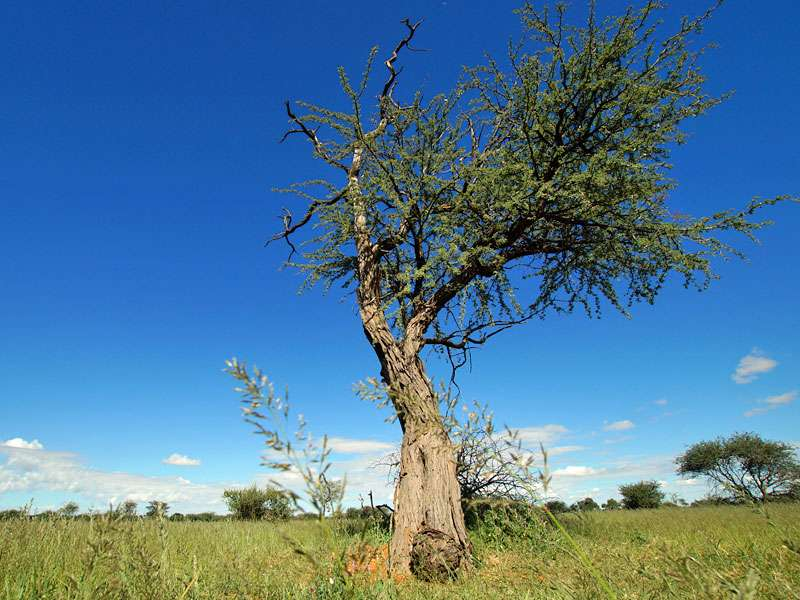 Baum in der Kalahari; Foto: 22.03.2017, Kuzikus Wildlife Reserve