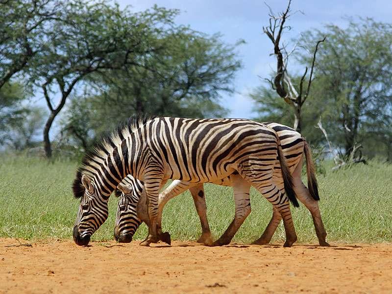 Burchell-Steppenzebras (Burchell's Zebras, Equus quagga burchellii); Foto: 22.03.2017, Kuzikus Wildlife Reserve