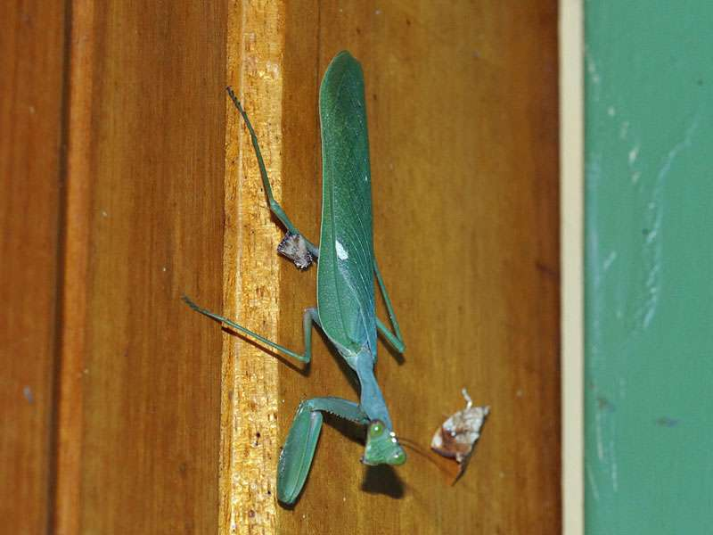 Unbestimmte Fangschreckenart Nr. 3; Foto: 23.03.2017, Kuzikus Wildlife Reserve