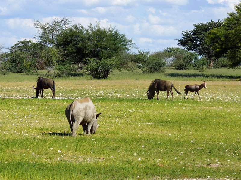 Artenvielfalt im Wildschutzgebiet: Streifengnus, Blässbock und Spitzmaulnashorn; Foto: 24.03.2017, Kuzikus Wildlife Reserve