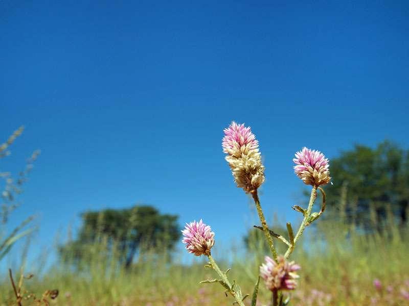 Blüte in der Kalahari; Foto: 25.03.2017, Kuzikus Wildlife Reserve